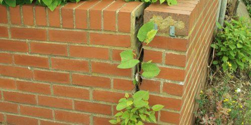 Japanese knotweed brick wall crack